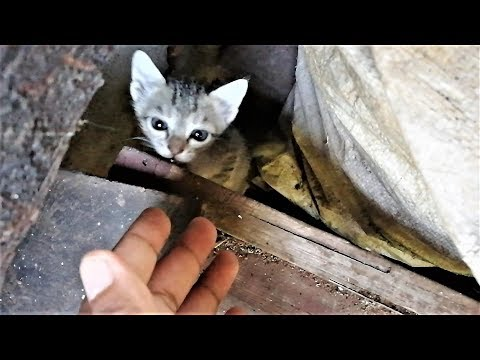 Rescuing a hissing angry stray kitten is difficult with bare hand