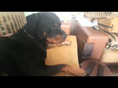 Rottweilers Are Not Scary