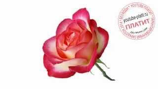 Как нарисовать алую розу карандашом поэтапно(83 486 рублей за 22 дня! Новая уникальная система заработка! http://glopages.ru/affiliate/1905293 НАЖИМАЙ прямо сейчас и УЗНАЕШЬ..., 2014-07-17T04:57:35.000Z)