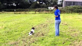 Gun Dog Training Cornwall | Gun Dog Boarding And Gun Dog Obedience Training Truro Cornwall