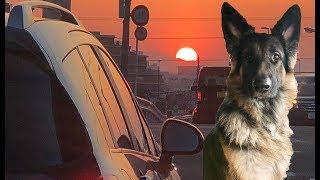 grandchild and German Shepherd dog 大型犬と遊ぶ子供達 秋田犬は今日...