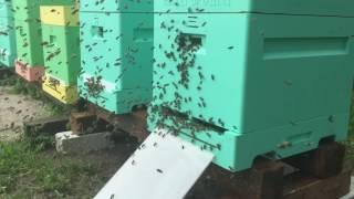 29.07.16 облёт молодой пчелы улей