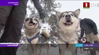 Заснеженная тренировка ездовых собак Панорама