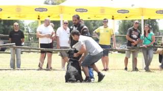 Falco Of Royal Musketeers Hdb Ed0  Ztp Rottweiler Club Italiano  Capena  - Video Niferre
