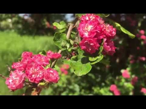 Spring Toba Hawthorn (Crataegus x mordenensis 'Toba') #toba #hawthorn #crataegus #mordenesis