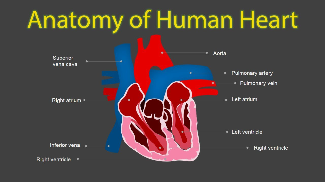 Structure Of Heart Human Heart Structure And Function Heart
