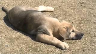 スパニッシュマスティフの子犬のお問合せはこちらから! http://www.mas...