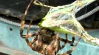 Araña en caceria