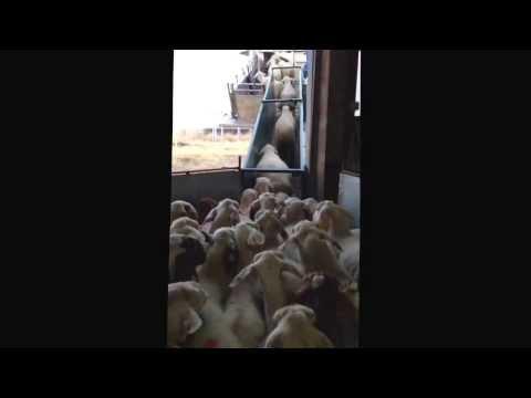 Cargando ovejas para Libia.Emp...