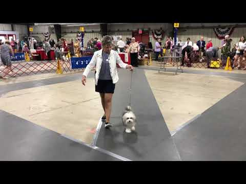 2019-07-07 Löwchen All Breed Judging, Independence Cluster, West Friendship Day 3