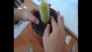 Лечение кактуса