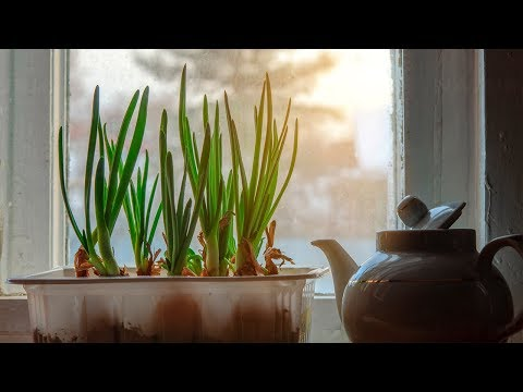 How to Grow Scallions or Green Onions Indoors