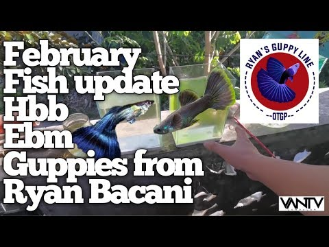 HBB Guppies PORSEYL   February fish update   Vlog no. 088