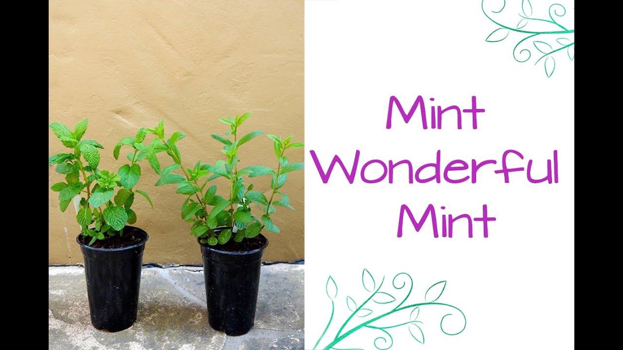 Mint Wonderful How To Care For Plant This Fragrant Herb