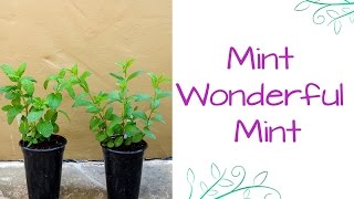 Mint Wonderful Mint: How To Care For & Plant This Fragrant Herb