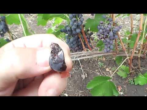 Сорт винограда Гальвера, П-29!