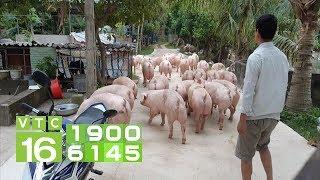 Giá lợn cao chưa từng có trong lịch sử: Vì sao khó kiểm soát? | VTC16