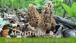 What Are Morel Mushrooms? - Morel Truths: Episode 1