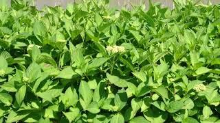 ガクアジサイ並木?まだつぼみですが、咲いたときが楽しみなほどの数。