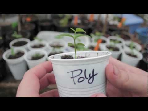 Grow Citrus From Seed! (Key Lime Trees) - Grow Everything - Episode 1