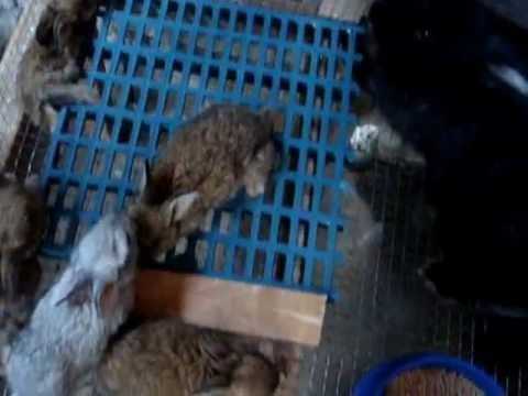 My Rabbits for Sale  in angeles City philippines.