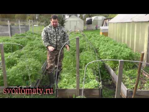 Вопрос: Можно ли посадить томаты прямо в сидераты?