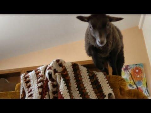 Lambs having fun in the house