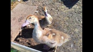 Мускусные утки - бывают ли у них породы