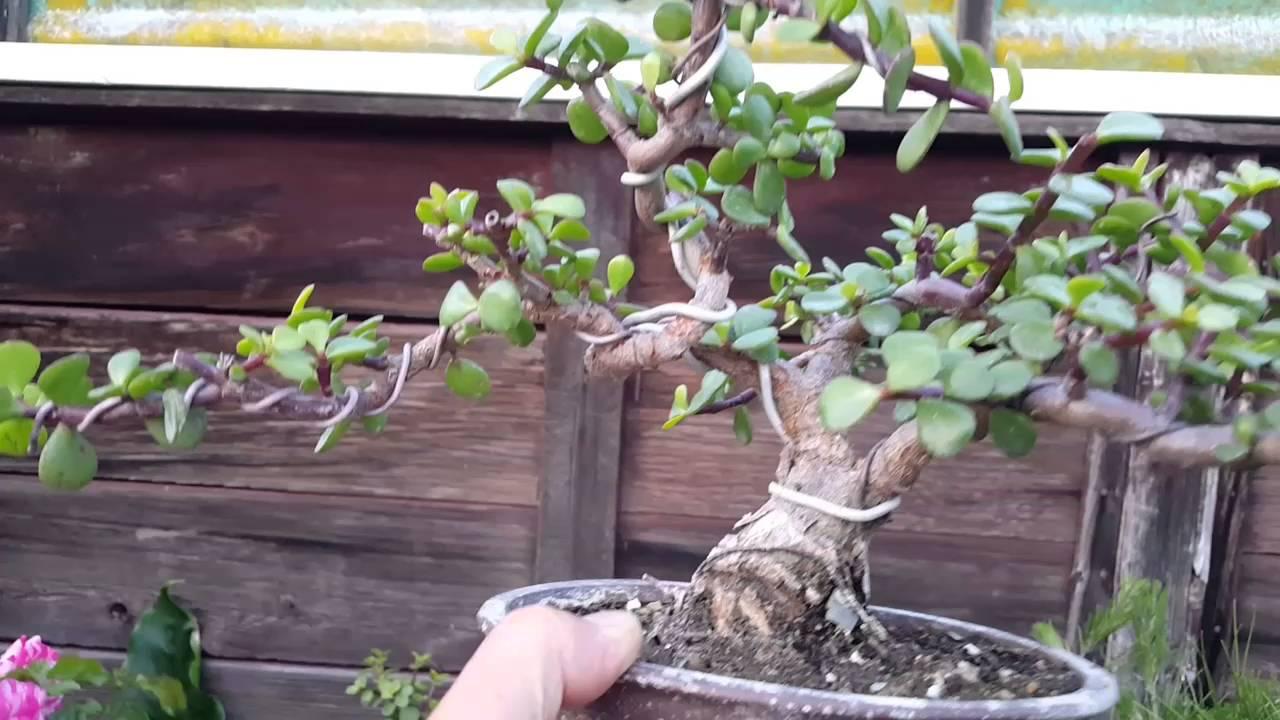 Jade bonsai tree twisted portulacaria afra white pine bonsai jade bonsai tree twisted portulacaria afra white pine bonsai koi pond youtube mightylinksfo