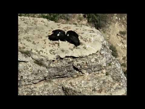 California Condor - Grand Canyon National Park - May 30, 2013