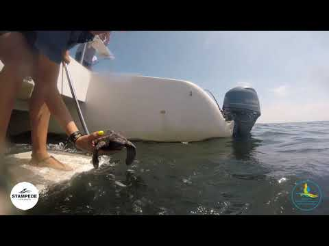 Rehabilitated Turtle Release on 15 December 2018