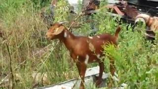 Prescribed Grazing.Sustainable land vegetation clearing with brush goats grazing