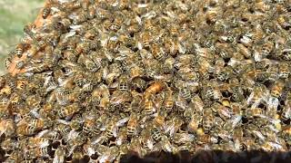 Queen Bee caught on camera laying 5 times!