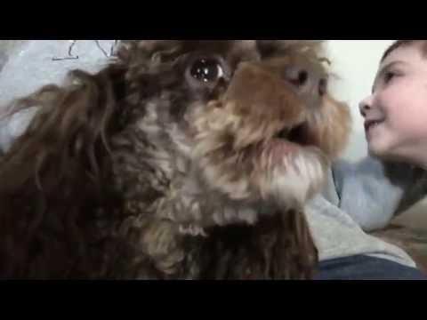 Teacup Poodle Funny Barking