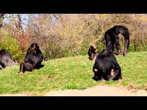 Chimpanzees at Detroit Zoo