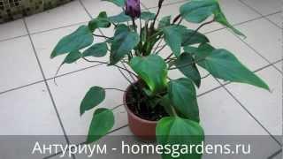 Фиолетовый антуриум цветет(Очень полезные статьи об уходе за антуриумом: Какой полив требует антуриум? Секреты выращивания антуриума:..., 2013-03-06T14:03:42.000Z)