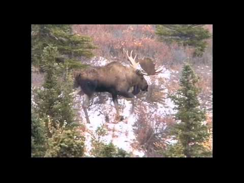 """""""There's A Chocolate Moose On The Loose"""" by Brent Holmes"""