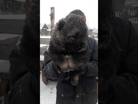 Щенок кавказской овчарки,Олварус Риддер Радж,39 дней
