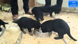 كلاب جيرمن  بلاك مع جمال العمواسي