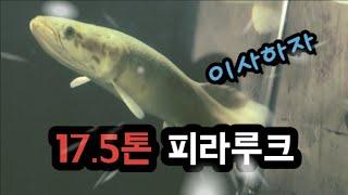 사육(물고기)_17.5톤 수조에 대형 미꾸라지가 왔다!…