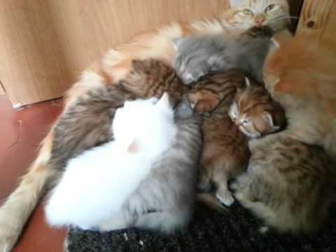 Prime Esplorazioni Dei Cuccioli Di Gatto Siberiano Youtube