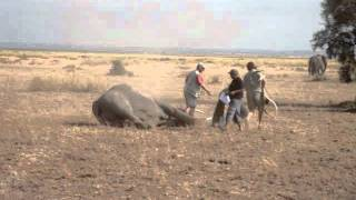 Elephant gets tranquilized