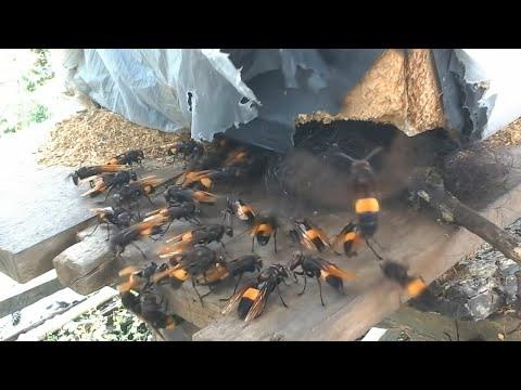 ASIAN MURDER/killer Hornets /GIANT HORNET/ASIAN GIANT HORNET/WASP/Murder Hornet/attack/don't Do This