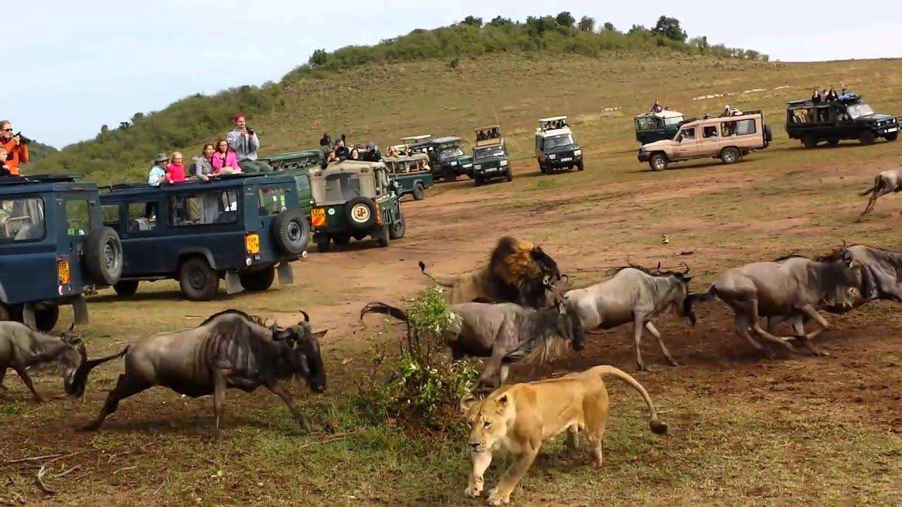 Wildebeest crossing Lion Ambush