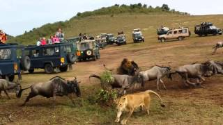 Wildebeest crossing Lion Ambush