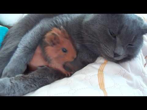 Вопрос: Почему котенок кидается на морскую свинку?