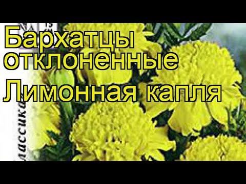 Бархатцы отклоненные Лимонная капля. Краткий обзор, описание характеристик tagetes patula nana