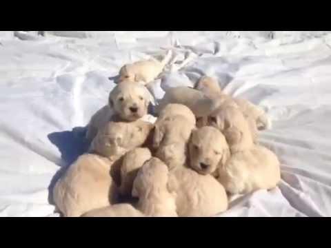 Panda's Goldendoodles Puppies Abbey Acres 9-18-15