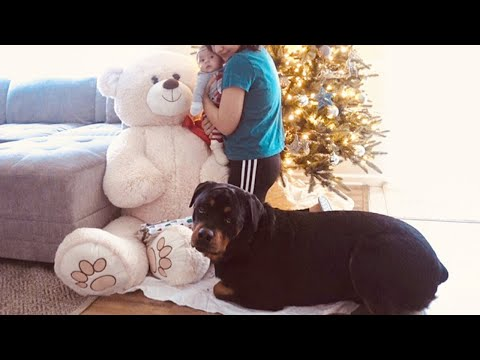 Rottweiler Hates GIANT Teddy Bear For Christmas! |62