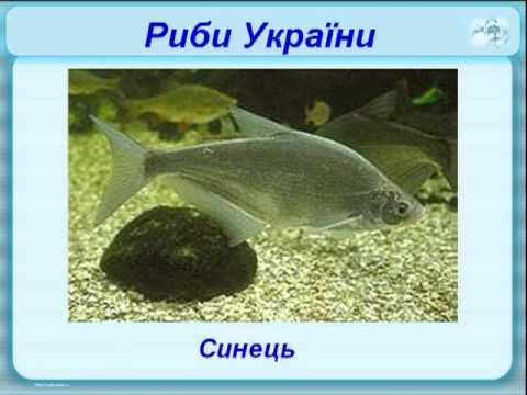 Риби України.Вчитель: Конончук Ю.О.mp4